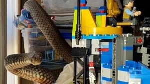兒童樂高玩具堆 驚見170公分「世界第二毒蛇」