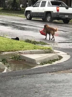 颶風來襲叼「罐罐」自保 德州小狗成網紅!
