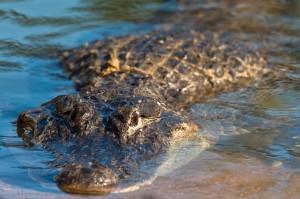 美國德州淹大水 居民憂350隻鱷魚集體越獄