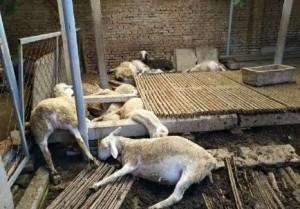 中國的蔥有劇毒! 上百隻羊食用後暴斃