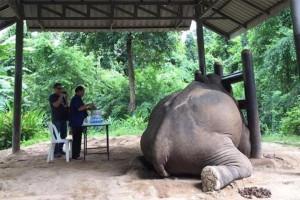 悲劇!過度餵食...泰國清邁大象被撐死