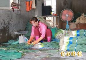 泰利颱風逼近 彰化菜農忙搶收