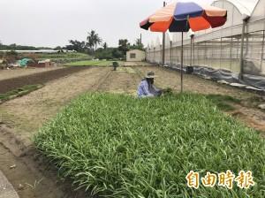 泰利來勢洶洶 高雄農民搶收蔬菜 市府籲做好防颱