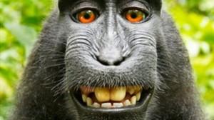 自拍爆紅的猴子 分到25%版權費