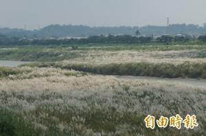 秋天河邊「甜根子草」開花 白雪般景致吸引民眾拍照