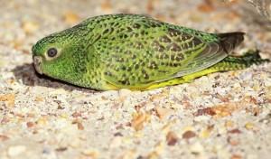 夜鸚鵡羽毛南澳洲現蹤 證實尚未絕種