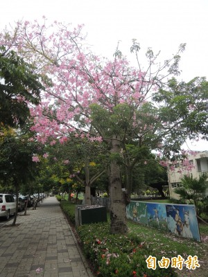 美人樹花季   水林文化路詩情畫意