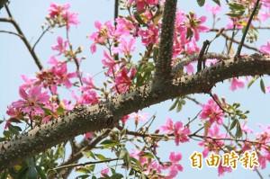美人樹開花期 溫柔多刺藏危機