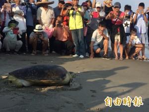 15年前獲救今野放! 截肢綠蠵龜「楊過」重返大海