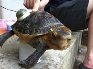 大量盜獵危機 日月光基金會和中興大學攜手搶救食蛇龜