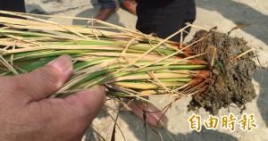 水稻施肥後大片枯死 雲林農民質疑肥料有問題