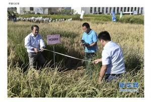 中國研發海水稻 預計供應約2億人糧食