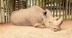 面對絕種的眼神… 最後一隻公北非白犀牛照片曝光