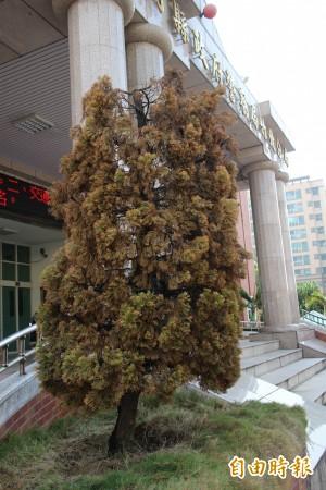 竹北分局門口龍柏枯萎 問題不在風水在人