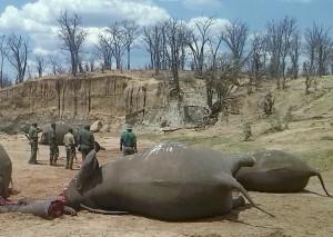 獅子後換大象 川普政策稱「狩獵品解禁助保育」遭猛批