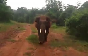 塊陶啊!開車巡視森林 慘遭公象追殺