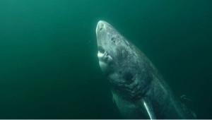 北大西洋發現512歲鯊魚 比莎士比亞還早出生
