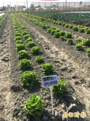 神奇!農改場用這款有機肥 青花菜產量高5成