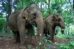 白目中客扯大象尾巴被追 導遊救人遭捲飛重踩