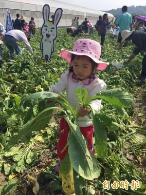 美濃白玉蘿蔔減產3成 價格比去年上漲7成
