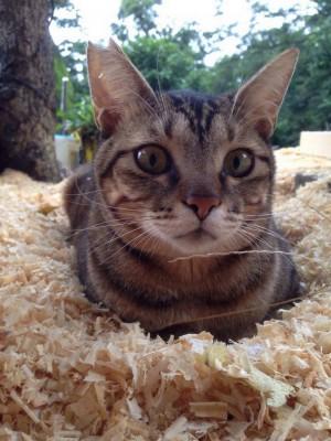 貓狗數量開始翻轉 南市研議強制家貓植入晶片