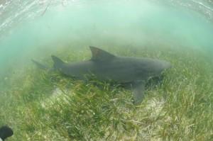 東沙害羞檸檬鯊 躲過中、越及菲律賓漁船獵捕