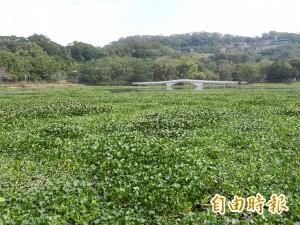 水質優養化 新竹青草湖佈滿布袋蓮 人工打撈清不完