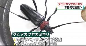 櫻花面臨滅絕!僅10隻即啃光櫻樹 外來種天牛狂襲日本