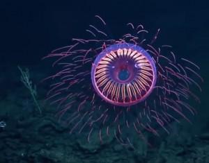 超罕見水母! 猶如在深海觀看絢爛煙火