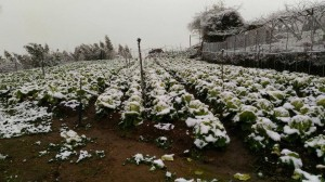 拉拉山雪蓋高麗菜! 遊客「賞雪」、菜農「淌血」