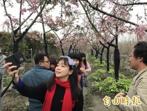 芬園1萬棵櫻花大爆發   賞櫻不用上山