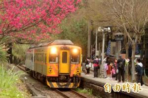 美呆了! 內灣小火車 浪漫穿梭櫻花下