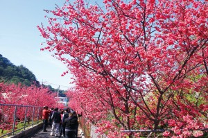 泰安櫻花季2.24開跑!中市有假日賞櫻接駁專車