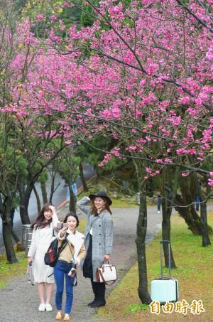 陽明山花季開跑 八重櫻滿開
