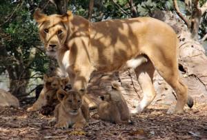 進入南非野生動物保護區  22歲女子被母獅咬死