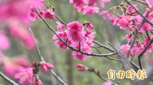 山城櫻花正盛開 遊客湧南庄賞美景