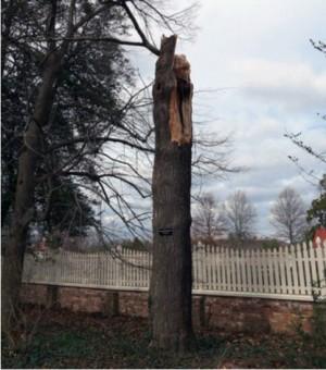 美國國父華盛頓227年前種的樹 不敵暴風雪傾倒