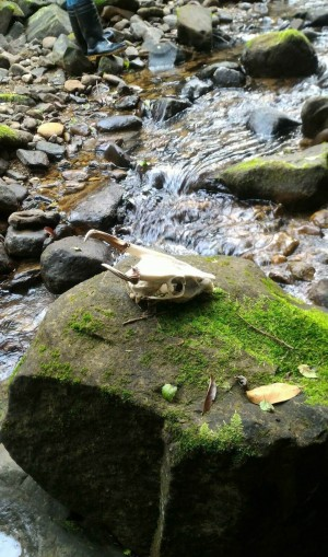 新北雙溪驚見山羌白骨 動保處緊急消毒
