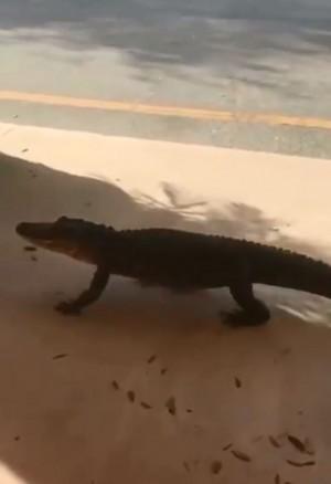 民眾嚇傻! 到大賣場購物 驚見鱷魚在門口散步...