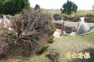 可惡!賊偷樹幹 兩墓園被砍斷28棵龍柏
