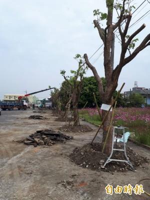 再現後壁「下茄苳」 種植43棵茄苳樹