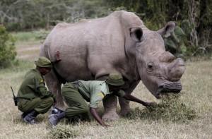 最後的「蘇丹」! 全球僅存雄性北白犀安樂死了