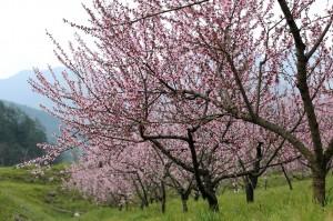 武陵農場桃花盛開 7、8月將成結實纍纍的水蜜桃