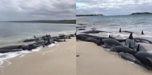 150頭鯨魚擱淺澳洲南部沙灘 超過70頭死亡
