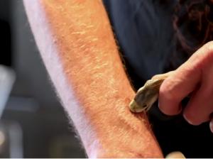 為研究自體免疫   美國狂男被蛇咬200次