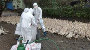 肉鴨場再傳禽流感 屏東鹽埔撲殺6799隻肉鴨