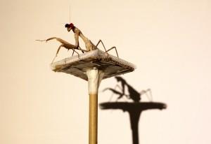 日本多地現外來螳螂 料源自中國進口竹掃把