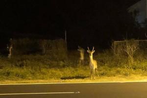 墾丁深夜鹿群大遷徙! 誰追趕?  成無解謎團