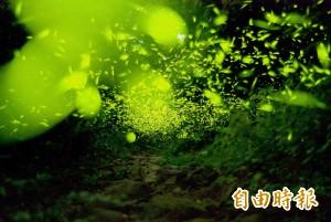 夜光精靈閃爍 台南梅嶺螢火蟲大發生