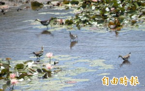 官田水雉繁殖期 提早開打搶地盤